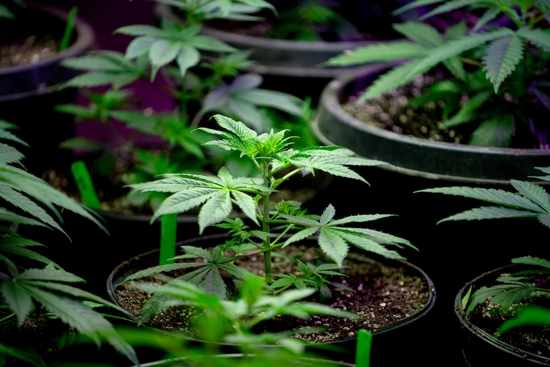 What Should Employers Know About Marijuana Legalization?